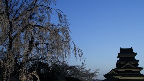 松本城夜桜会しだれ桜