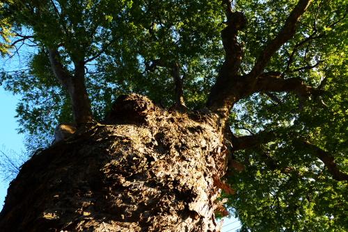 槻井神社の欅の老木